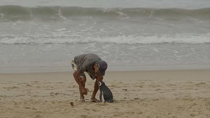 man-saves-penguin-returns-swims-5000-miles-17