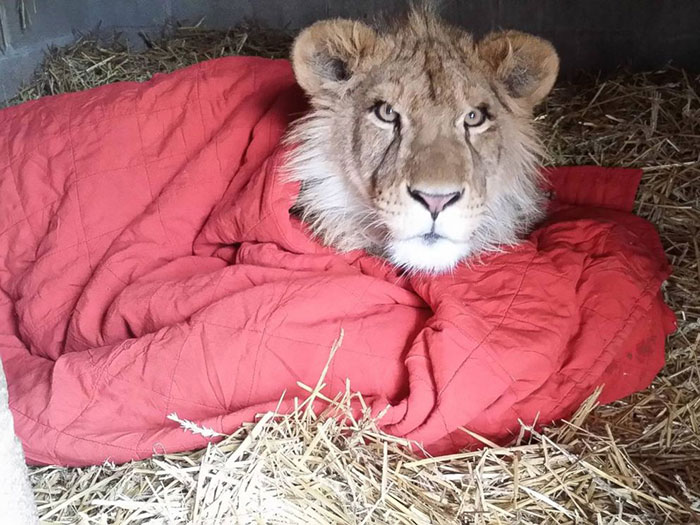 rescued-african-lion-sleeping-with-blanket-9