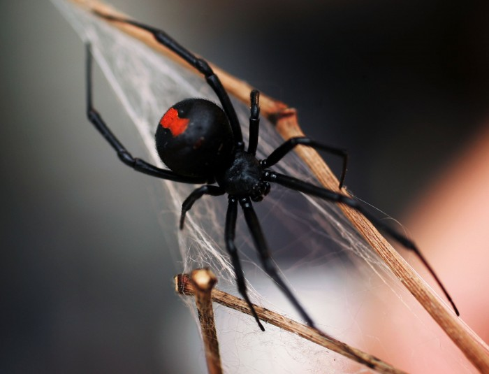 SYDNEY, NSW - JANUARY 23: A Redback Spider is pictured at the Australian Reptile Park January 23, 2006 in Sydney, Australia. The Redback, probably Australia's best-known deadly spider is found all over Australia and is a close relative of the Black Widow Spider from the U.S. Only the female Redback is considered dangerous, with their venom containing neurotoxins, which works very slowly. Fatalities, even from untreated bites, are rare. Australia is home to some of the most deadly and poisonous animals on earth. (Photo by Ian Waldie/Getty Images)