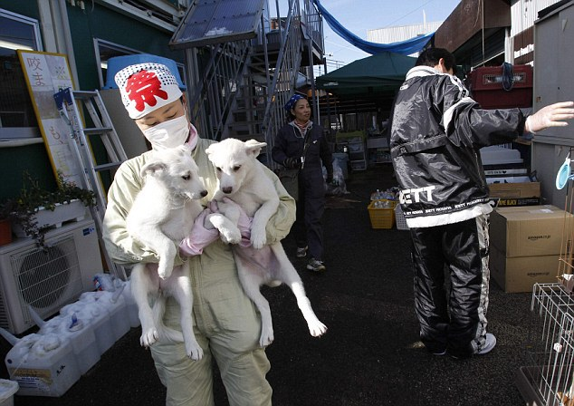 ATTENTION EDITORS - IMAGE 18 OF 18 TO GO WITH PICTURE PACKAGE 'FUKUSHIMA PET RESCUE' Members of United Kennel Club Japan (UKC Japan) care for pets which are rescued from inside the exclusion zone around the crippled Fukushima Daiichi nuclear power plant, at the group's pet shelter in Samukawa town, Kanagawa prefecture January 25, 2012. Dogs and cats that were abandoned in the Fukushima exclusion zone after last year's nuclear crisis have had to survive high radiation and a lack of food, and they are now struggling with the region's freezing winter weather. A 9.0-magnitude earthquake and massive tsunami on March 11 triggered the world's worst nuclear accident in 25 years and forced residents around the Fukushima Daiichi nuclear power plant to flee, with many of them having to leave behind their pets. Picture taken January 25, 2012. REUTERS/Issei Kato (JAPAN - Tags: DISASTER ANIMALS TPX IMAGES OF THE DAY)