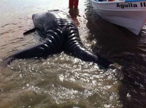 nFrom Chris Murphy 01634 686 515nLocals in Mexico were shocked to spot a pair of conjoined gray whales dead on the shore.nScientists in Mexico¿s Laguna Ojo de Liebre, or Scammon¿s Lagoon, discovered the conjoined gray whale calves, and it could be the first documented case of Siamese twin gray whales.nConjoined twins have occurred in other species, notably fin, sei and minke whales. However, an online search and a search of the database at the Natural History Museum of Los Angeles County did not reveal published instances of conjoined gray whale twins.nUnfortunately, the twins discovered in Scammon¿s Lagoon did not survive and most likely were miscarried, reports grindtv, an outdoor sports website.nThe carcass is only about seven feet long, versus the normal 12 to 16 feet for newborn gray whales.nAlisa Schulman-Janiger, an American Cetacean Society researcher, pointed out that the twins were severely underdeveloped and wondered whether the birth or stillbirth might also have killed the mother.nThe twins¿ carcass has been collected for study.nImages were posted by the Guerrero Negro Verde Facebook page, with the translated statement, ¿Unfortunately, the specimen died. [Its] survival was very difficult.¿nMore images were posted to Facebook by local Jesus Gomez.nGray whales are arriving in Scammon¿s Lagoon and other lagoons along the Baja California peninsula, after a nearly 6,000-mile journey from Arctic home waters. They give birth during the southbound journey, or in the lagoons, and nurse their calves for several weeks before embarking on their northbound journey back to the Bering and Chukchi seas.nAccording to NOAA, the Pacific gray whale population numbers about 21,000.nMost calves are born during the last week of December and the first two weeks of January.nEndsnn