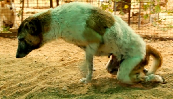 Indian Stray Dog Was Hit by a Car, Paralyzed .. Now Watch Her Amazing Recovery