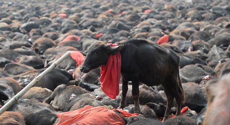 Nepal Chooses Kindness — ENDING The World's Largest Animal Sacrifice Event