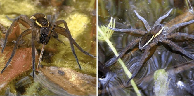 4-fen-raft-spiders-664x6602