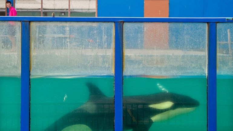 Suspected Suicide Attempt by SeaWorld Orca Shocks Tourists
