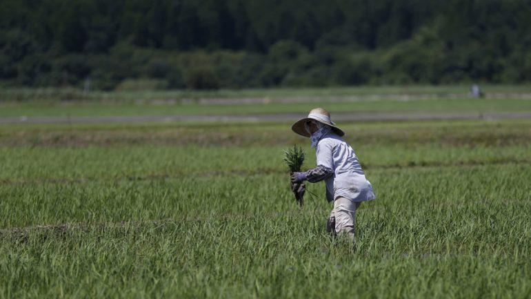 Fukushima Rice To Be Sold in Britain