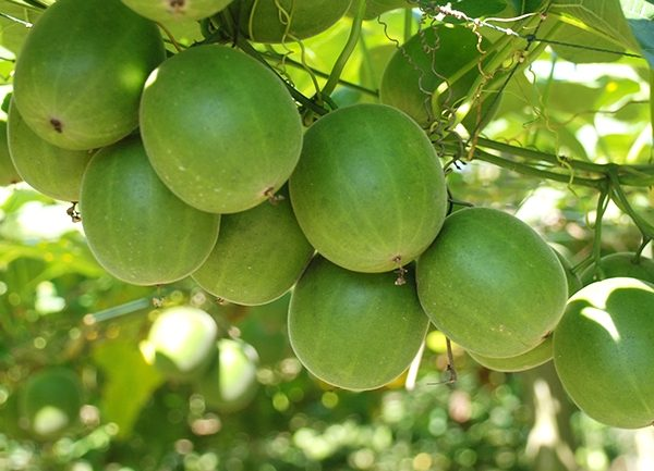 New Research Links Monk Fruit To Cancer Healing