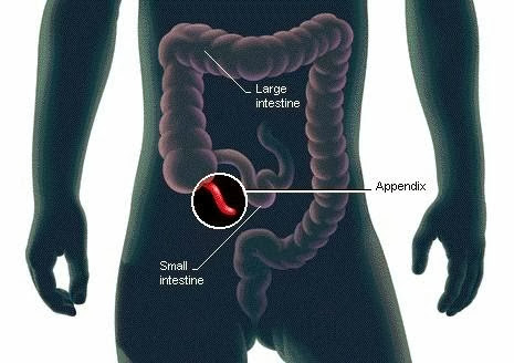 Scientists Have Finally Discover the Function of the Human Appendix