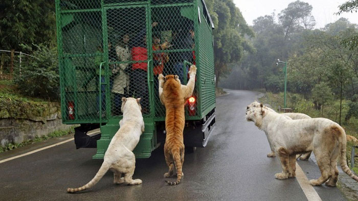 THIS THE MOST FEROCIOUS ZOO IN CHINA- ANIMALS ROAM FREE AND PEOPLE ARE CAGED