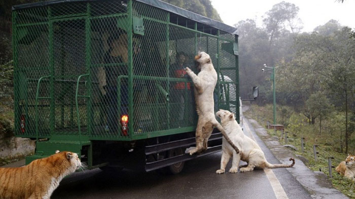 most-ferocious-zoo-in-china2