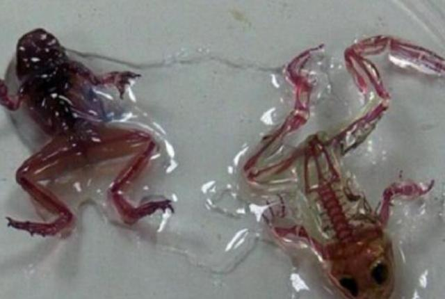 These Mutant Transparent Frogs Are Worrying Scientists