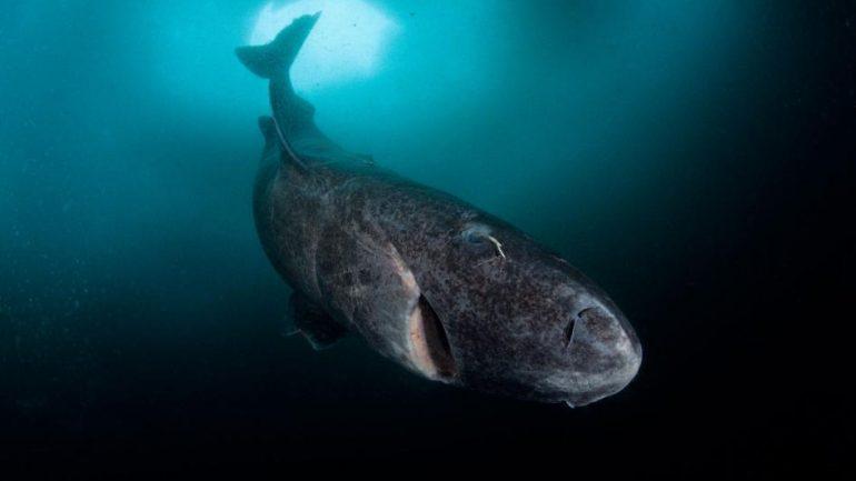 272 Year Old Shark Is Longest Lived Vertebrate on Earth