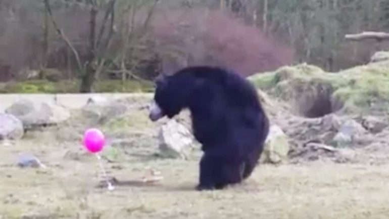 Watch These Bears' Reaction When They Find A Lost Pink Balloon: It's A Riot