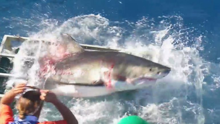 Great White & Diver in Horrifying Struggle