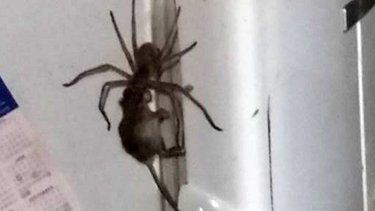 Enormous Spider Drags Mouse by Its Head