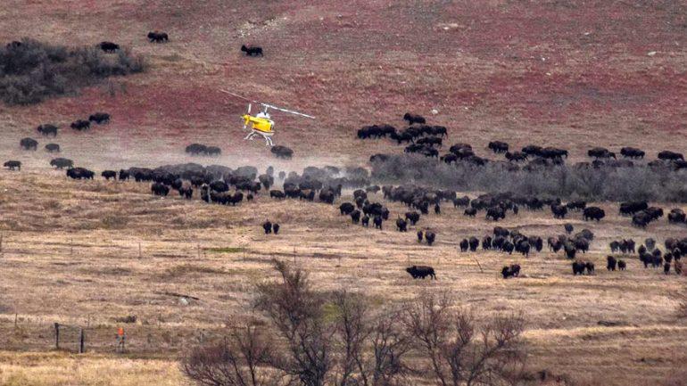 'Ancestors Are With Us': Wild Buffalo Stampede North Dakota Pipeline Protest