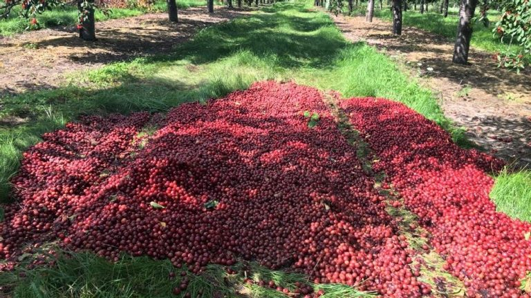 Michigan Farmer Forced To Dump 40,000 Pounds of Cherries to Make Way For Import Crops