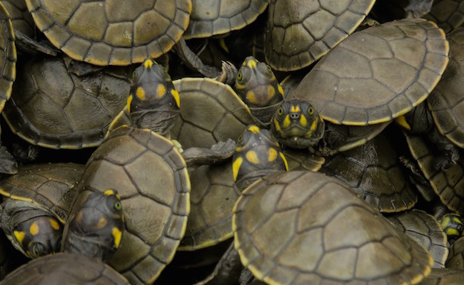 Peru Will Release Half A Million Baby Turtles In An Effort To Save The Species From Extinction
