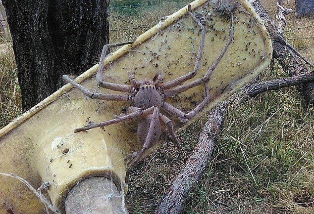 Is This The Biggest Huntsman Spider Ever Photographed?