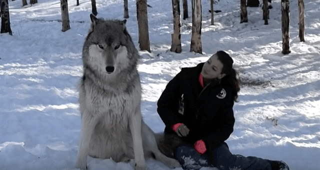 She Sits Down Next To A Giant Wolf. Watch The Moment When Their Eyes Meet
