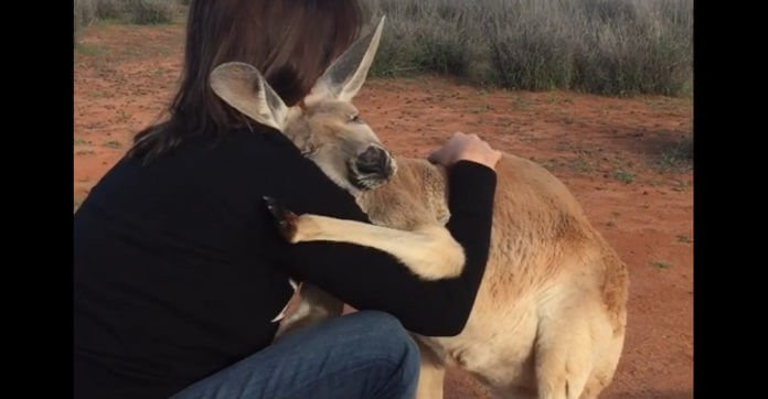 affectionate-kangaroo-696x362