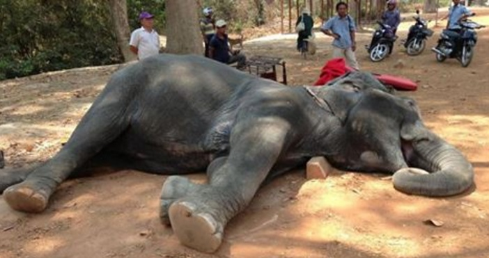 Overworked Elephant Drops Dead After Forced To Give Rides in 100 Degree Heat