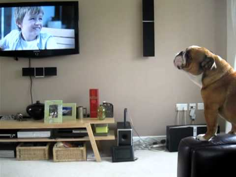 Bulldog Sees An Elephant On TV And Proceeds To Do A Hilarious Imitation