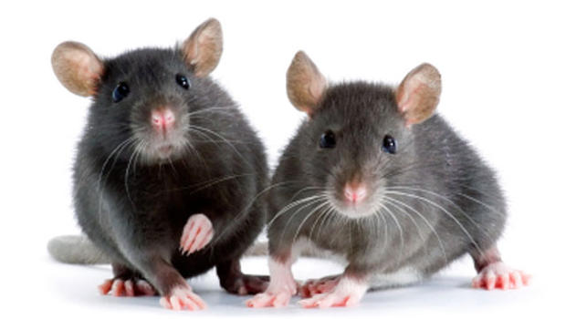 WikiLeaks Emails Mention Aspartame, Acknowledging It Puts Holes in Mice Brains