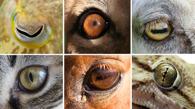Ever Wondered Why The Pupils Of Some Animals Are Either Horizontal Or Vertical?