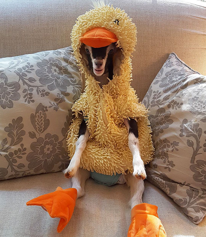 rescue-goat-duck-costume-goats-of-anarchy-polly-leanne-lauricella-17