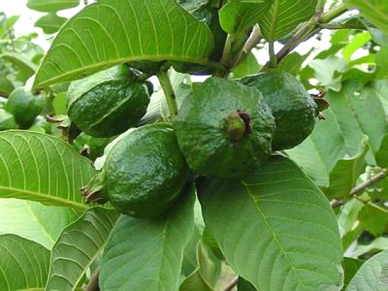 17 Amazing Benefits of Guava Leaves for Skin, Hair and Health