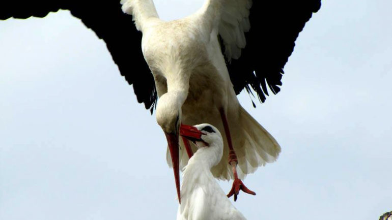 Stork Flies Over 8,000 Miles Every Year Just So He Can See His Injured Soul Mate