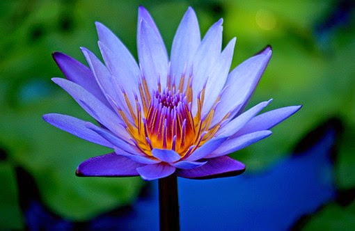 blue-lotus-flower-entheogen-of-ancient-egypt
