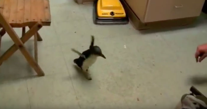 Little Penguin Sees His Best Friend Coming And Just Can't Contain His Excitement
