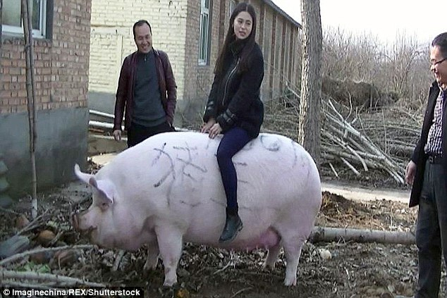 'King of the Pigs' In China…..It's So Big You Can Ride It Like A Cow