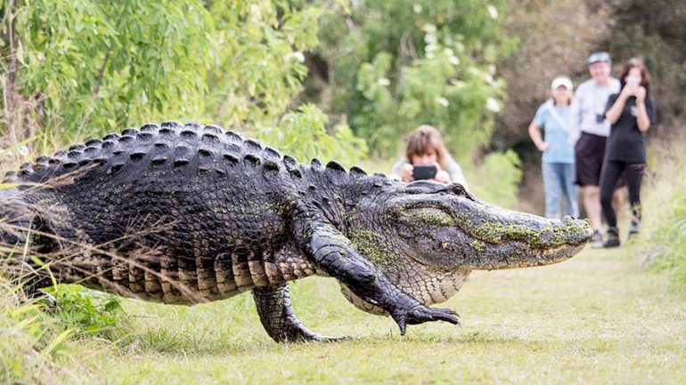 Monster Alligator Stuns Onlookers During Casual Stroll in Florida