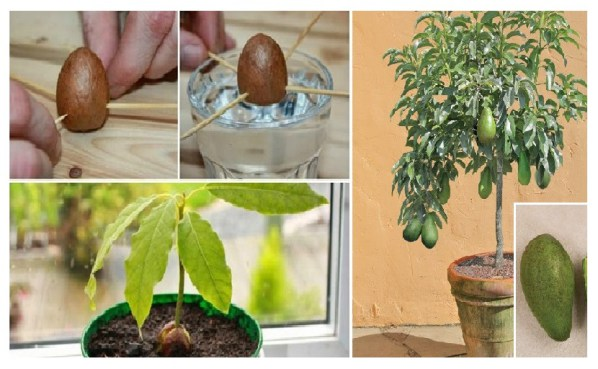 how to grow your own avocado tree in small garden pot. Black Bedroom Furniture Sets. Home Design Ideas