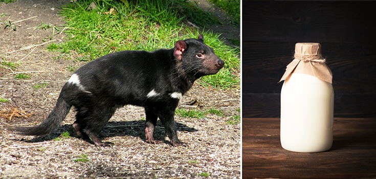 Newest Weapon Against Superbugs: Tasmanian Devil Milk