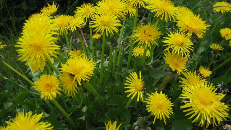 Dandelion Root, a Cancer Cell Killer, Has a Long History as Medicine
