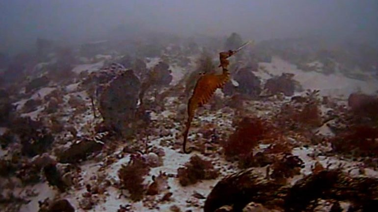 Rare Ruby Sea Dragon Caught on Film, First Discovered in 150 Years