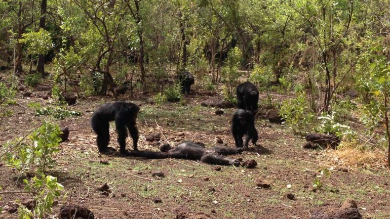 Chimps Beat, Kill, And Eat The Former Leader Of Their Group In Brutal Attack