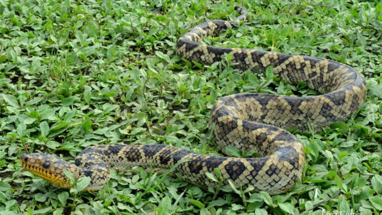 World's Rarest Boa Seen For The First Time In Over 60 Years