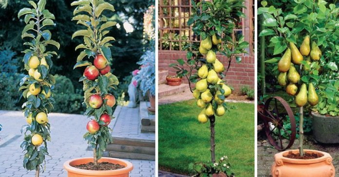 Columnar Fruit Trees: Create Your Own City Orchard with These Amazing Dwarf Fruit Trees