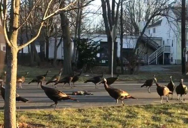 Why Did These Turkeys Circle Around a Dead Cat?