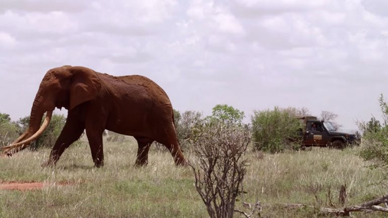 Poachers Kill Rare Giant Elephant, One of Last of Its Kind in Africa