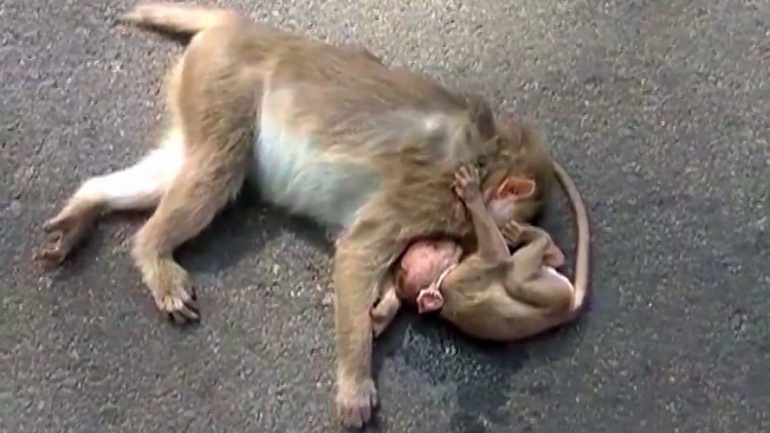 Heartbreaking Footage Shows Baby Monkey Weeping Over Dead Mother's Body