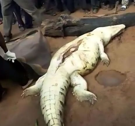 Villagers Cut Open Huge Crocodile To Find Young Boy Inside