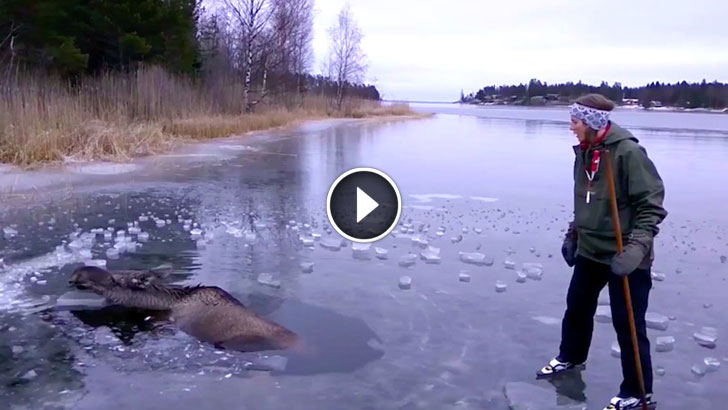 Moose Falls Through Ice and Starts Drowning. Watch How This Brave Woman Rescues It