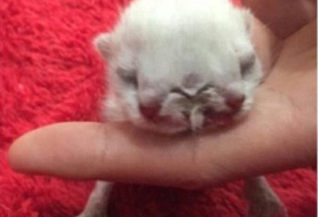 Mutant Kitten Born With TWO HEADS And Three Eyes In China