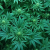 The Government Has Officially Admitted That Marijuana Kills Cancer Cells